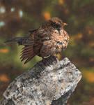 Blackbird (female) Drawing