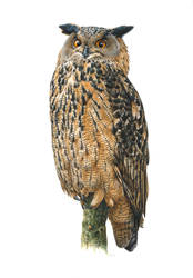 Snooty the Eagle Owl