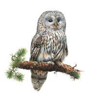 Ural Owl by EsthervanHulsen