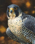Peregrine Falcon painting by EsthervanHulsen