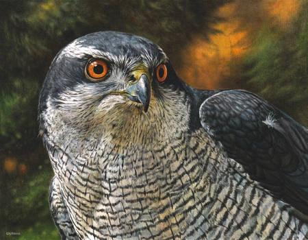 Goshawk painting