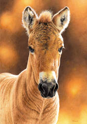 Drawing of a Przewalski Horse Foal