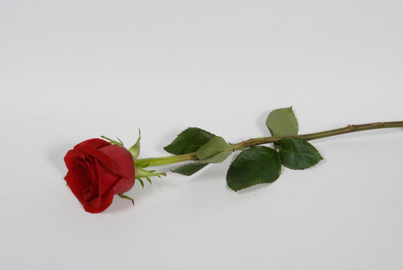 This Site Contains Information About Red Rose Photography Tumblr