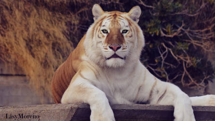 The magnificent beauty of the Golden Tiger