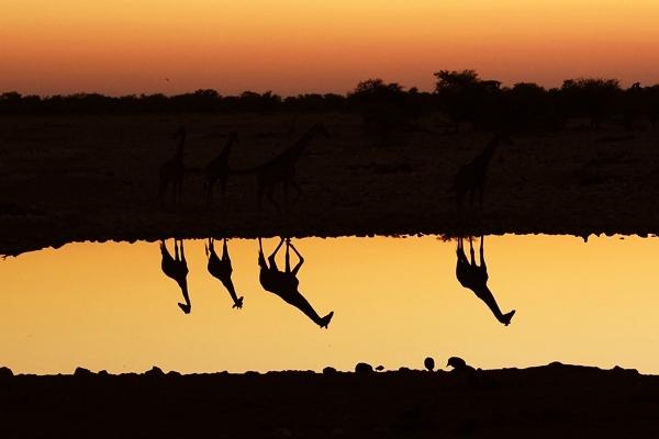 Namibian Giraffes by s-ave