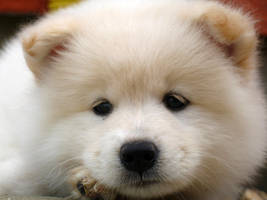samoyed puppy by bubumo