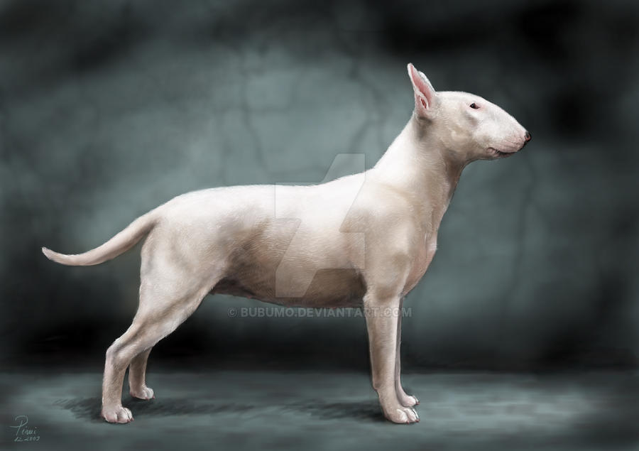 bullterrier by bubumo