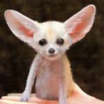 Fennec Fox cub