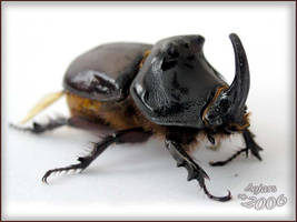 rhinoceros beetle by bojar