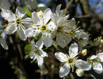 Blackthorn in Spring 2 by avalonmoon13