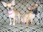 Chihuahua Siblings