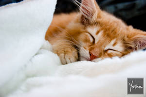 Sleepy kitten by YoshaPhotography