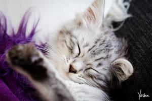 Catnap by YoshaPhotography