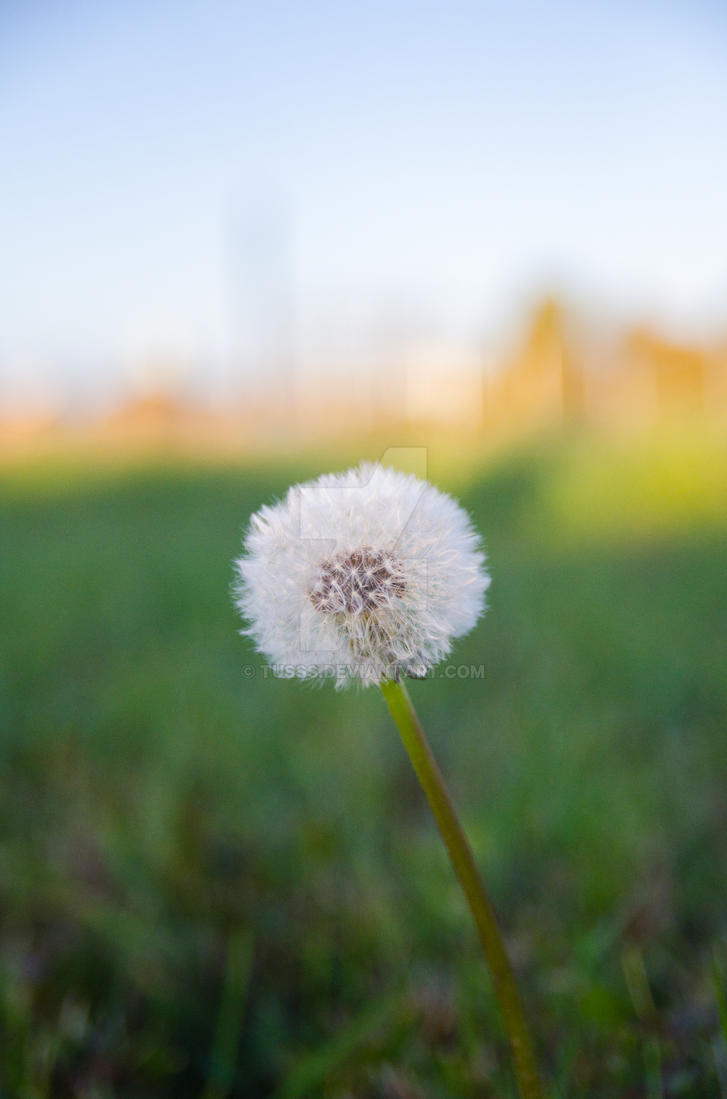 Dandelion by tusss