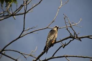 Baby Hawk 3 by januarystock