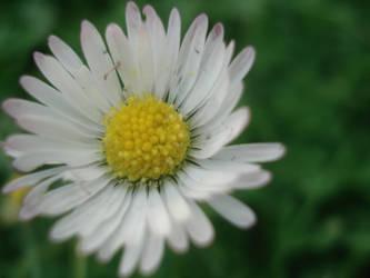 daisy by x-silent-tears-x