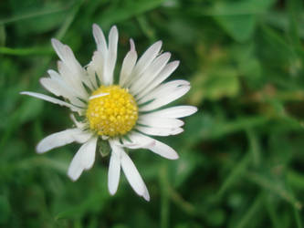 dying daisy -colour- by x-silent-tears-x