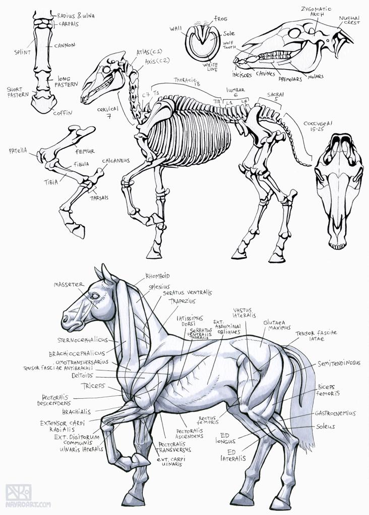 Inktober2016 - Horse Anatomy Study by Nayro on DeviantArt