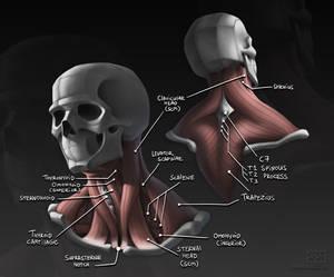 Neck Anatomy Study