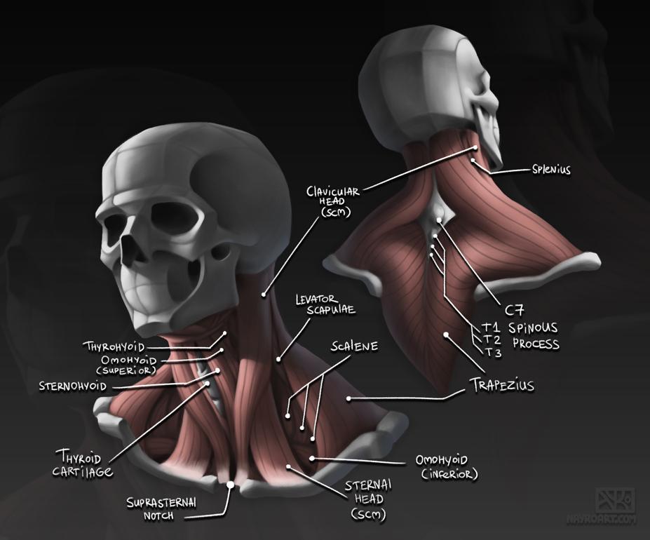 Neck Anatomy Study by Nayro on DeviantArt