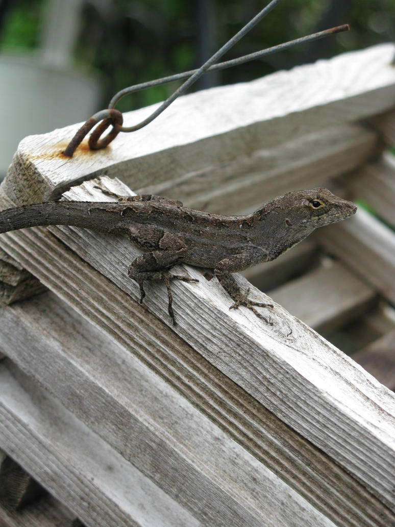 Lizard by Scopimera