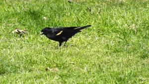 Redwing Blackbird by Bestestcat