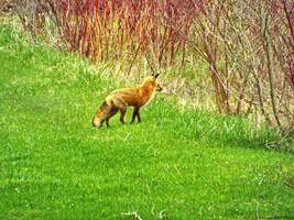 Lookin' Foxy by Bestestcat