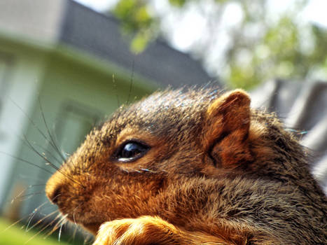Foxtail Babby squirrel