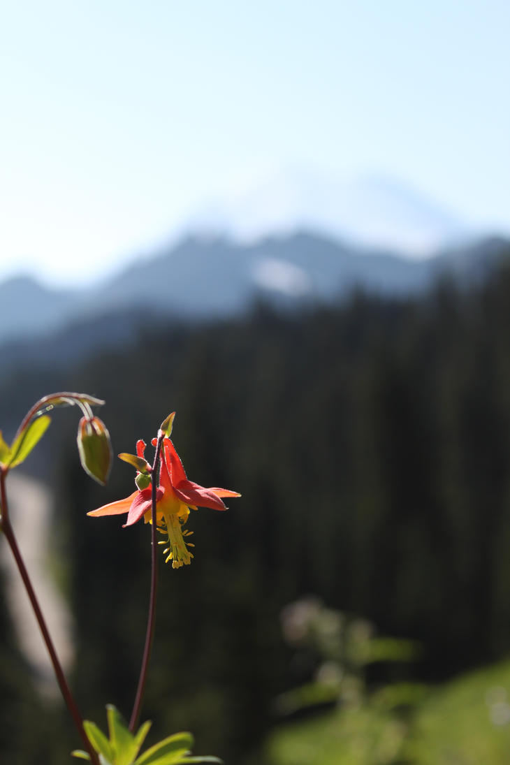 Mountian Columbine With a View by doglover43