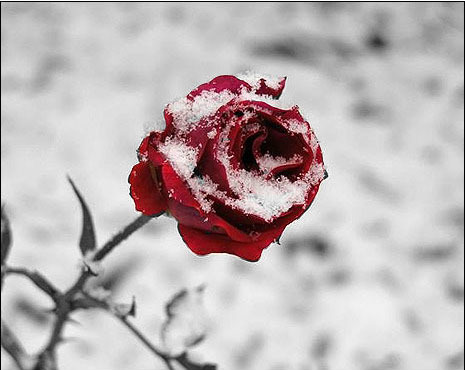 winter rose by curlydeea on deviantart. Black Bedroom Furniture Sets. Home Design Ideas
