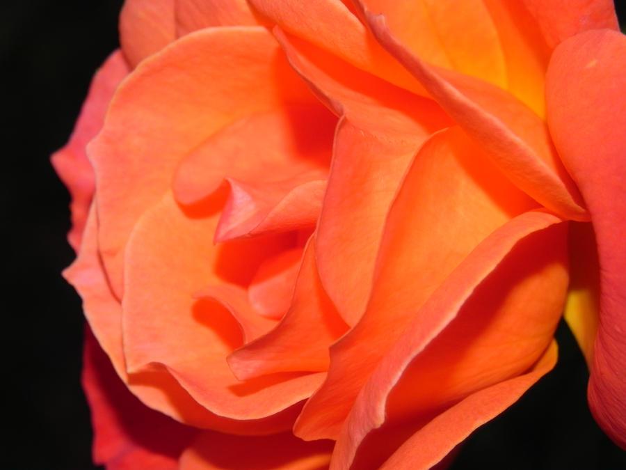 Rose by v-t
