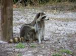 friendly raccoon 2