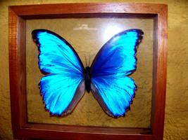 Morpho butterfly by mandykat