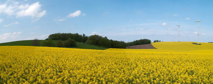 Land of Rapeseed
