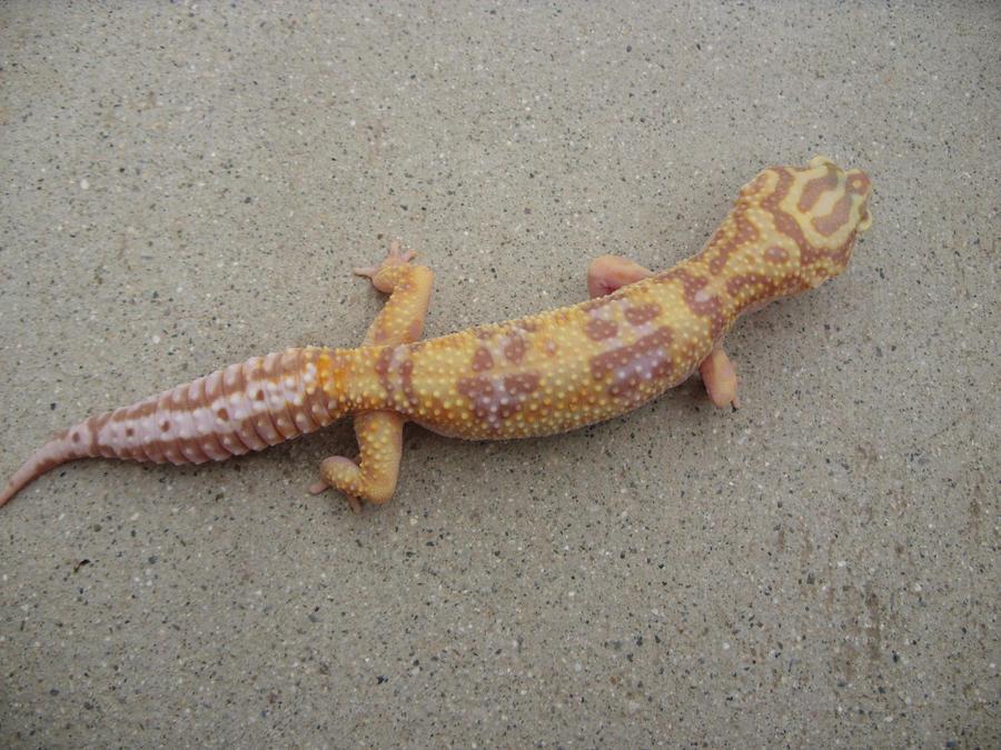 Baby tremper albino leopard gecko