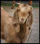Lady goat