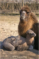 Like mommy 'camel version' by Triumfa