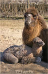 Like mommy 'camel version'