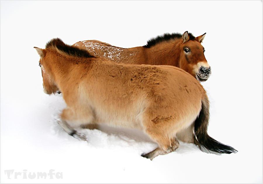 Ring a ring o'horses by Triumfa