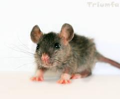 E-E-EK A rat by Triumfa