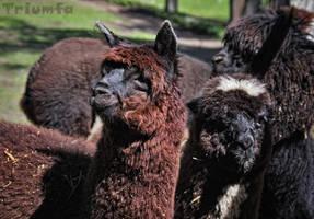 Fluffy, cuddly Dark Side by Triumfa