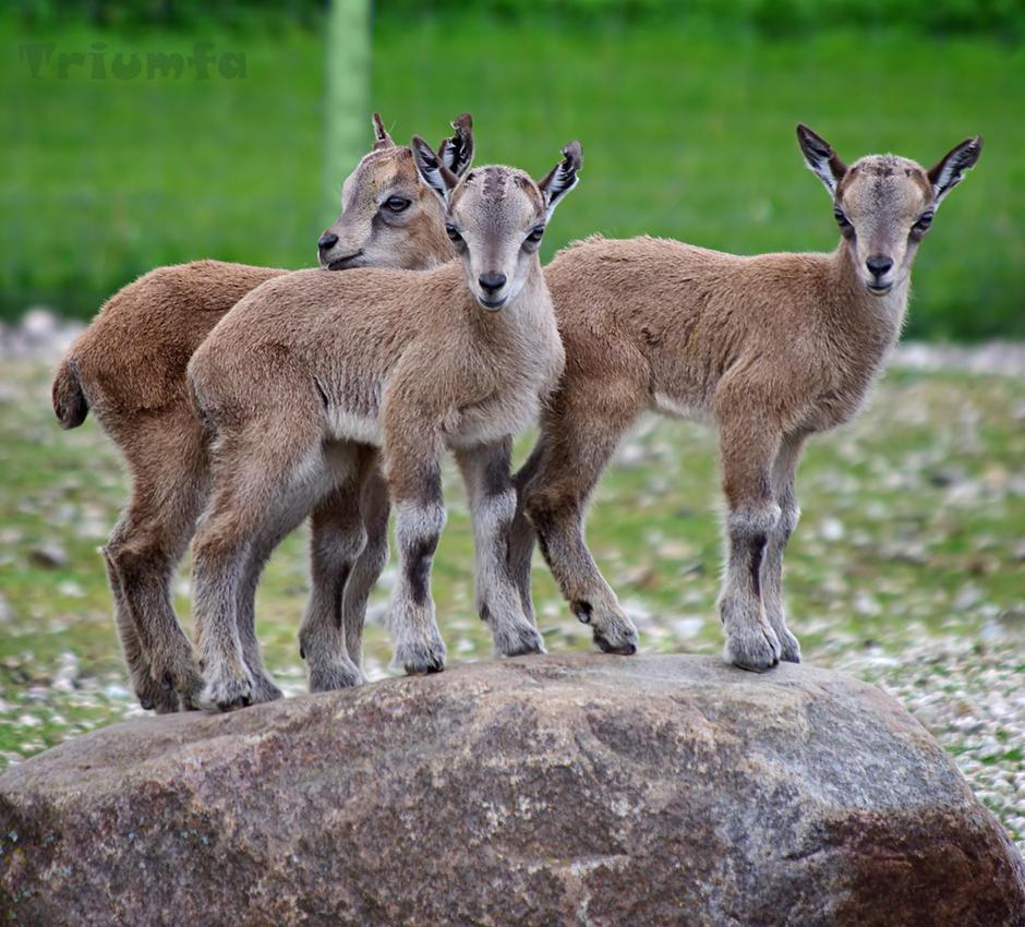Three mighty goats by Triumfa