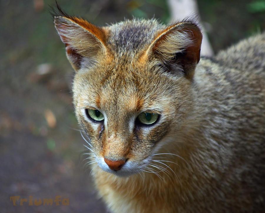 Jungle cat by Triumfa