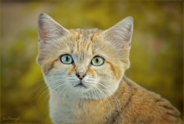 Sand cat portrait by Triumfa