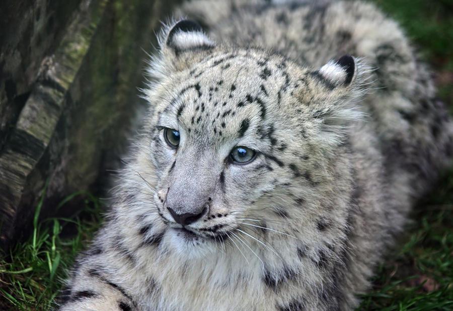 Baby snow leopard by Triumfa