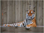 Amur tiger by Triumfa