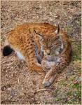 Sleepy lynx by Triumfa