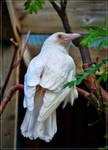 White crow by Triumfa