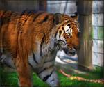 Eye of the tiger by Triumfa