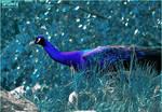 Blue peacock by Triumfa